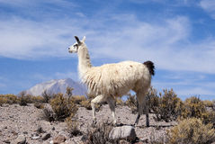 Llama. High Andean Plateau Llama, with Licancabur volcano at the horizon Stock Photography