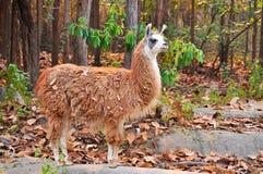 Free Llama Royalty Free Stock Photo - 30216005