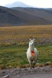 Llama Royaltyfri Foto