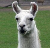Llama. Portrait of a llama wide eyed blond Royalty Free Stock Images
