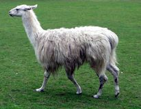 Llama. Trotting to get its diner in a field Royalty Free Stock Images