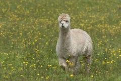 llama Στοκ φωτογραφία με δικαίωμα ελεύθερης χρήσης