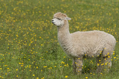 llama Στοκ Εικόνες