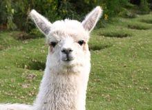 Llama. Face of a South America llama stock photography