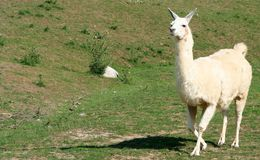 Llama. A llama walking across the grass Stock Photography