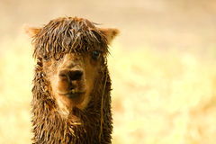 Llama. With blurred background looking directly in camera stock image