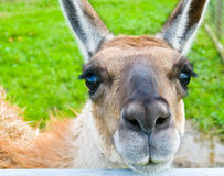 Llama Imagenes de archivo