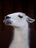 Llama. A South American Llama, often regarded as a 'Beast of Burden' This distinguished example was called Harold stock images