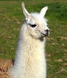 Llama. In field, at  ranch Stock Image