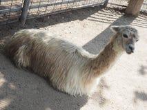 llama Fotografering för Bildbyråer