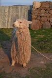 Llama Imagen de archivo