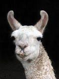 Llama Royaltyfri Fotografi