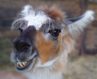 Llama Royalty Free Stock Photos