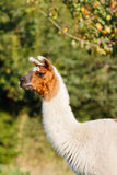 Llama against a blurry nature background Stock Photo