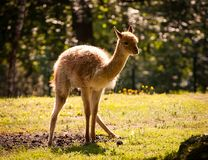 Llama alpaca Royalty Free Stock Photos