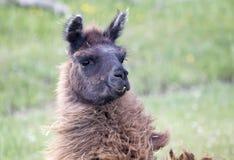 Llama Alpaca Royalty Free Stock Image