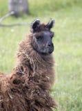 Llama Alpaca Stock Image