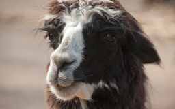 Llama alpaca portrait Stock Photography