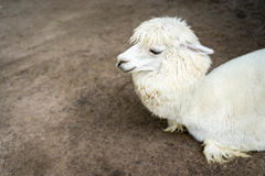 Llama or Alpaca Vicugna pacos, Close up photograph of a white Stock Images