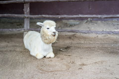 Llama or Alpaca Vicugna pacos, Photograph of a full body white Royalty Free Stock Photo