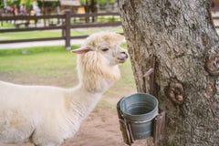 Llama or Alpaca Vicugna pacos, Photograph of a white alpaca dr Royalty Free Stock Image
