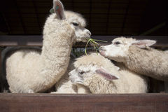 Llama alpacas eating ruzi grass in mouth rural ranch farm Royalty Free Stock Images