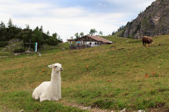 Llama and alpine hut Stock Images