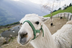Llama in Alps mountains Royalty Free Stock Photos