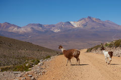 Llama on the Altiplano Royalty Free Stock Images
