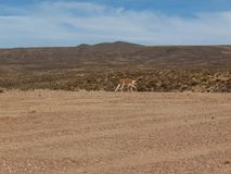 Llama at Altiplano in Bolivia Stock Image