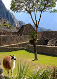 Llama in ancient ruins Royalty Free Stock Images