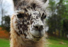 Llama animal Royalty Free Stock Images
