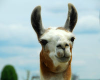 Llama animal Stock Images