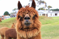 Llama animals on farm Stock Image