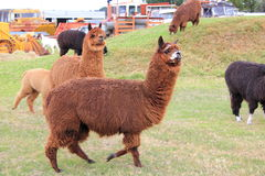 Llama animals on farm. Herd of colourful llama animals on a farm with old machinery in the background Stock Photography
