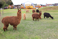 Llama animals on farm Stock Photos