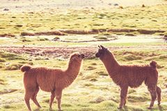Llama. In Argentina Royalty Free Stock Photography