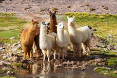 Llama. In Argentina royalty free stock photography