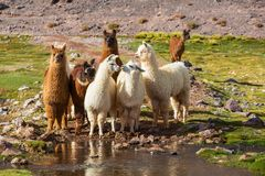 Llama. In Argentina Stock Photography
