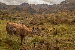 Llama in beatiful scenery. This is a photo of a llama or alpaca, taken in national park cajas, Ecuador stock photos