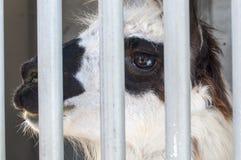 Llama behind bars Stock Images