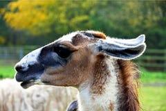 Llama with Black Face stock photo
