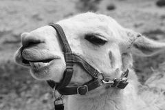 Llama in Black and White with Harness. Came across a farm of alpaca's and llamas while in Israel. I believe this was a Llama. The farm was a small rest stop Stock Photo