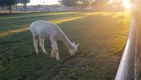 Llama blanca en un prado con una puesta del sol hermosa