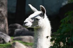 Llama blanca mullida domesticada del animal de paquete en el parque zool?gico de Mosc? imágenes de archivo libres de regalías