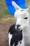 Llama with Blue Bucket. White and black llama standing in front of a blue bucket Royalty Free Stock Photography