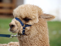 Llama with Blue Halter Stock Image