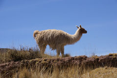 Llama with blue sky Royalty Free Stock Photography