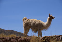 Llama with blue sky Royalty Free Stock Image