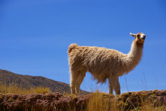 Llama with blue sky,  grazing Royalty Free Stock Photos